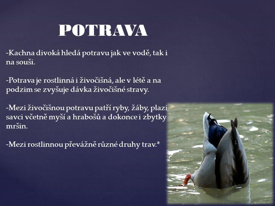 POTRAVA -Kachna divoká hledá potravu jak ve vodě, tak i na souši. -Potrava je rostlinná i živočišná, ale v létě a na podzim se zvyšuje dávka živočišné