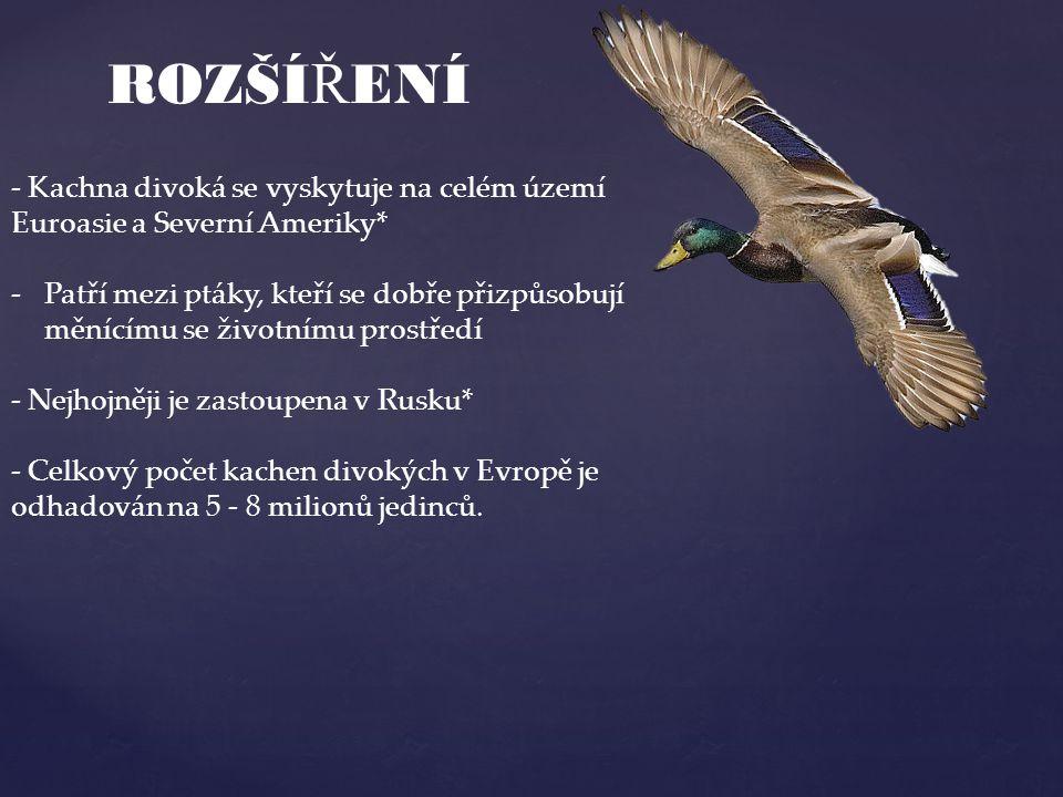 ROZŠÍ Ř ENÍ - Kachna divoká se vyskytuje na celém území Euroasie a Severní Ameriky* -Patří mezi ptáky, kteří se dobře přizpůsobují měnícímu se životní