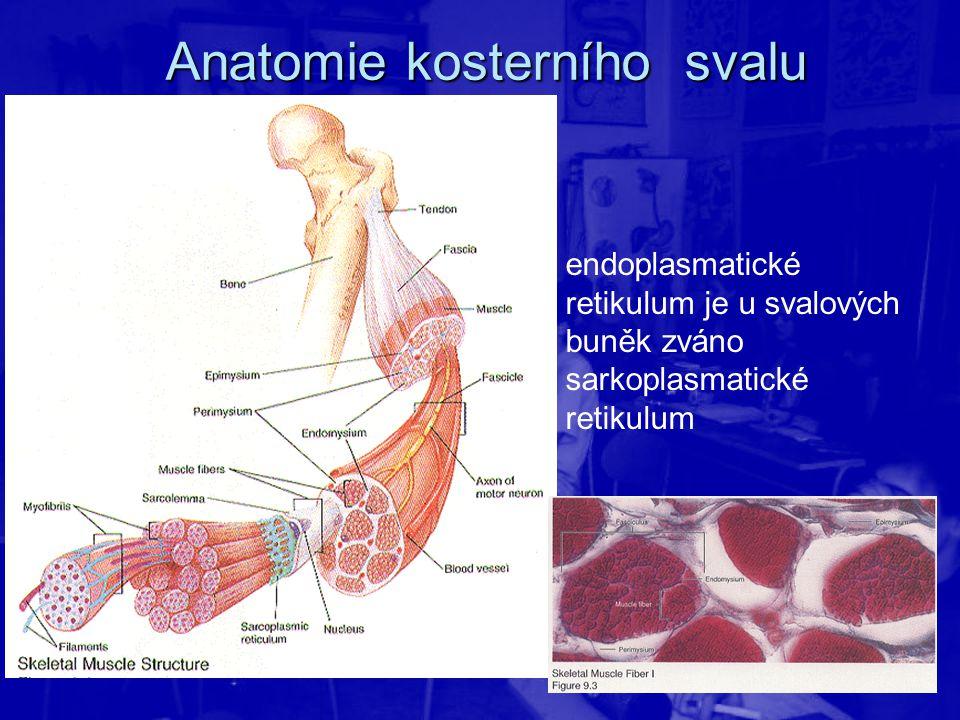 endoplasmatické retikulum je u svalových buněk zváno sarkoplasmatické retikulum