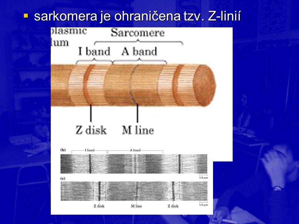  sarkomera je ohraničena tzv. Z-linií
