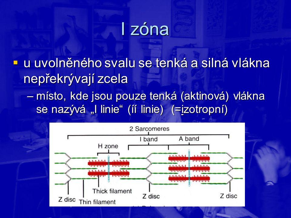 """I zóna  u uvolněného svalu se tenká a silná vlákna nepřekrývají zcela –místo, kde jsou pouze tenká (aktinová) vlákna se nazývá """"I linie"""" (íí linie) ("""