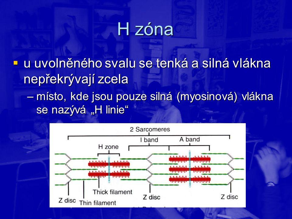 """H zóna  u uvolněného svalu se tenká a silná vlákna nepřekrývají zcela –místo, kde jsou pouze silná (myosinová) vlákna se nazývá """"H linie"""""""