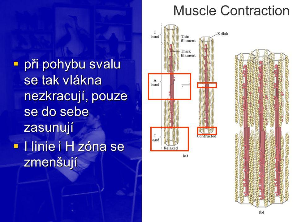  při pohybu svalu se tak vlákna nezkracují, pouze se do sebe zasunují  I linie i H zóna se zmenšují