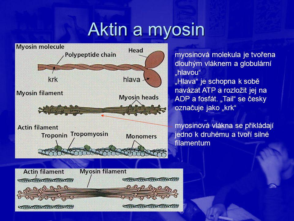 """Aktin a myosin myosinová molekula je tvořena dlouhým vláknem a globulární """"hlavou"""" """"Hlava"""" je schopna k sobě navázat ATP a rozložit jej na ADP a fosfá"""