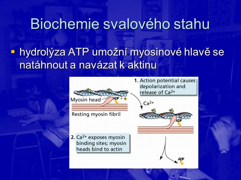  hydrolýza ATP umožní myosinové hlavě se natáhnout a navázat k aktinu