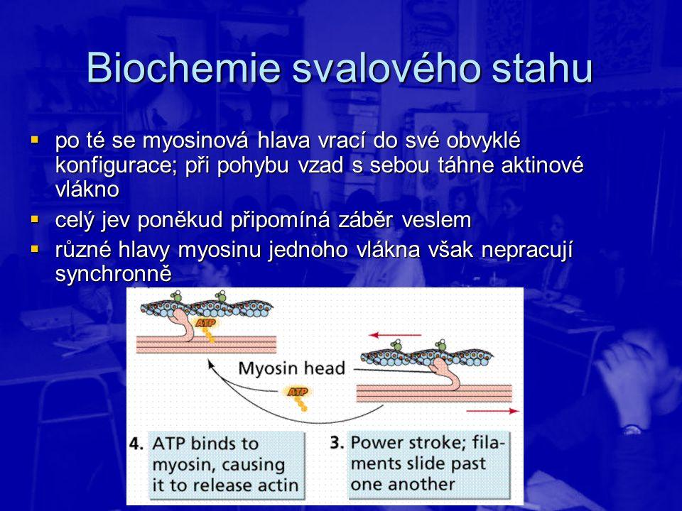Biochemie svalového stahu  po té se myosinová hlava vrací do své obvyklé konfigurace; při pohybu vzad s sebou táhne aktinové vlákno  celý jev poněku