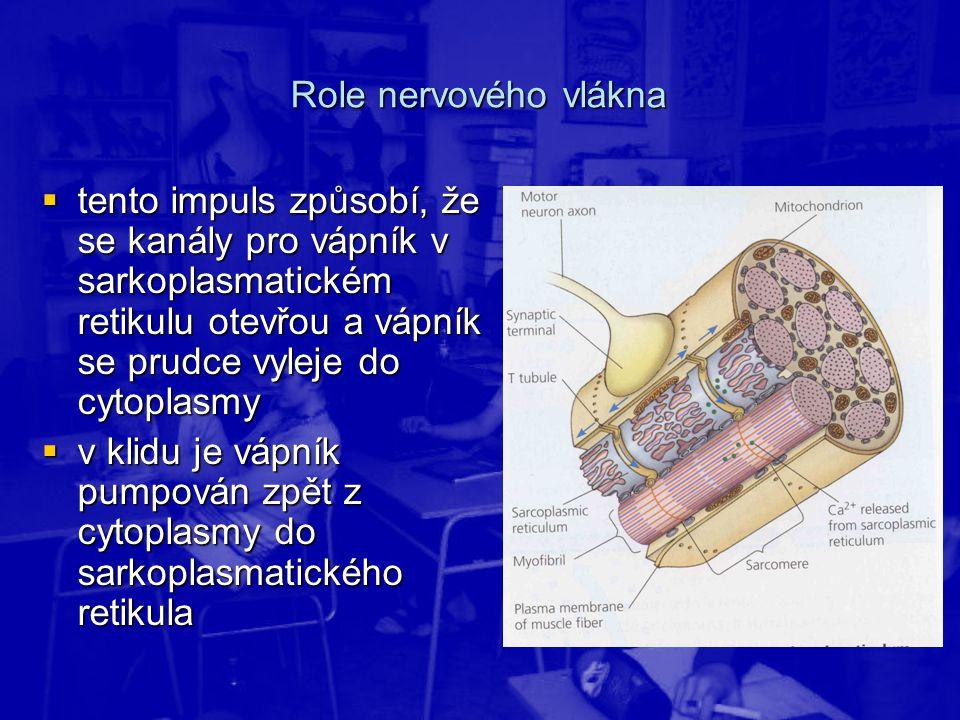 Role nervového vlákna  tento impuls způsobí, že se kanály pro vápník v sarkoplasmatickém retikulu otevřou a vápník se prudce vyleje do cytoplasmy  v