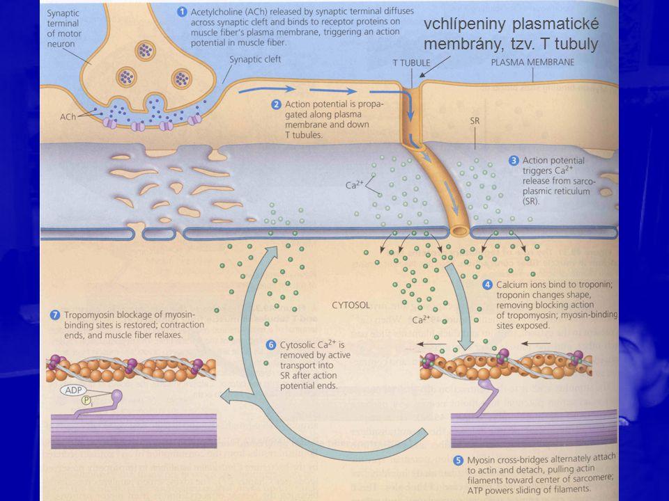 vchlípeniny plasmatické membrány, tzv. T tubuly
