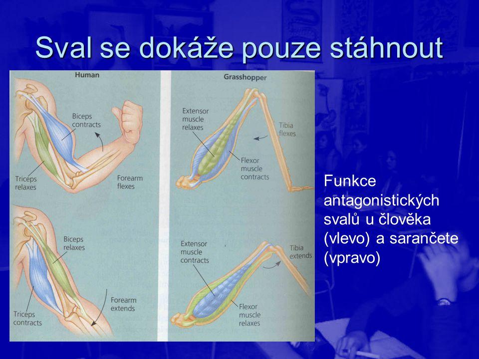 Sval se dokáže pouze stáhnout Funkce antagonistických svalů u člověka (vlevo) a sarančete (vpravo)