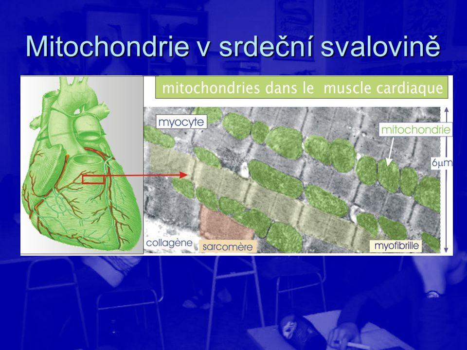 Mitochondrie v srdeční svalovině