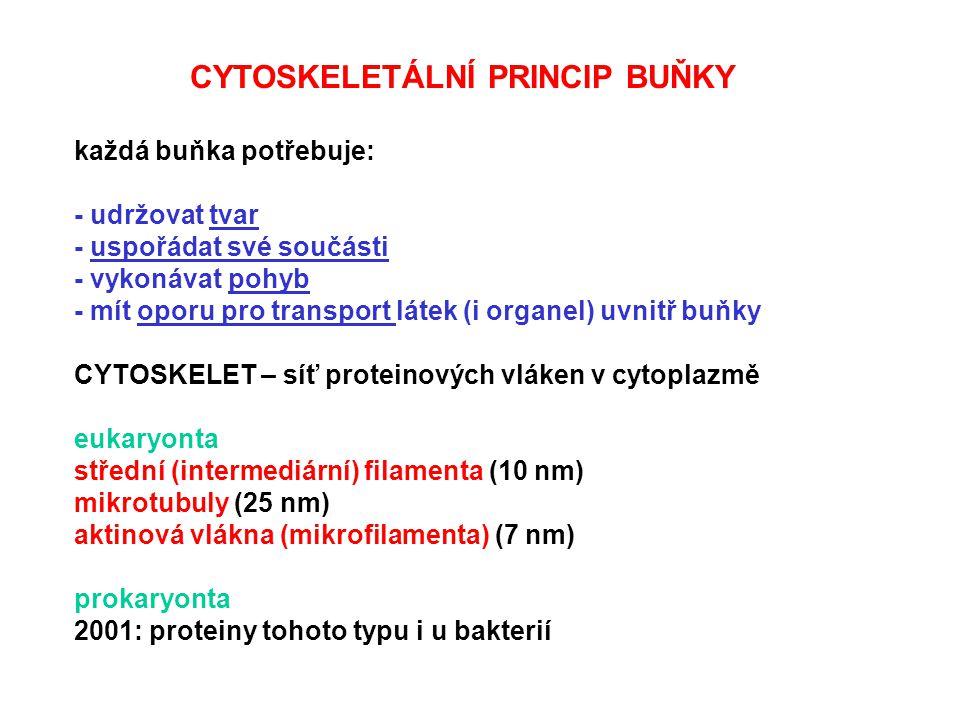 CYTOSKELETÁLNÍ PRINCIP BUŇKY každá buňka potřebuje: - udržovat tvar - uspořádat své součásti - vykonávat pohyb - mít oporu pro transport látek (i orga