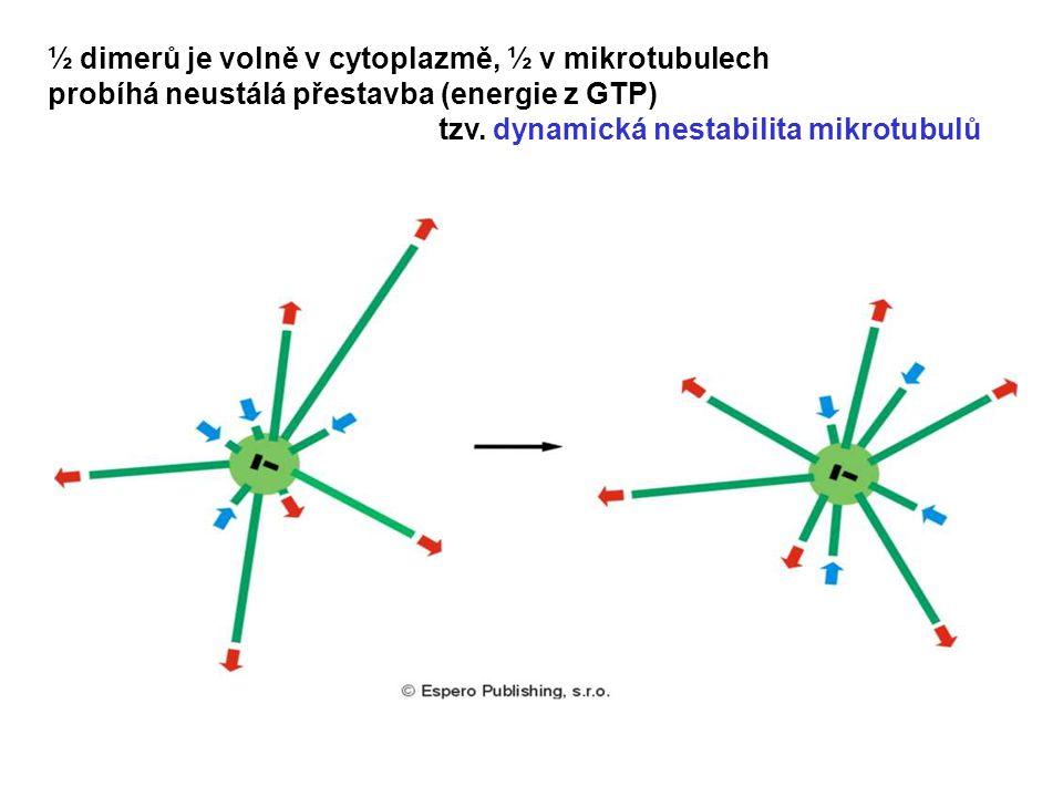 ½ dimerů je volně v cytoplazmě, ½ v mikrotubulech probíhá neustálá přestavba (energie z GTP) tzv. dynamická nestabilita mikrotubulů