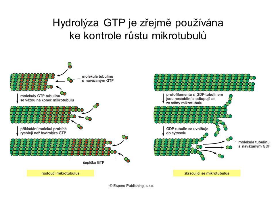 Hydrolýza GTP je zřejmě používána ke kontrole růstu mikrotubulů