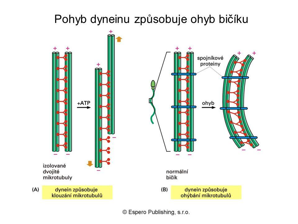 Pohyb dyneinu způsobuje ohyb bičíku