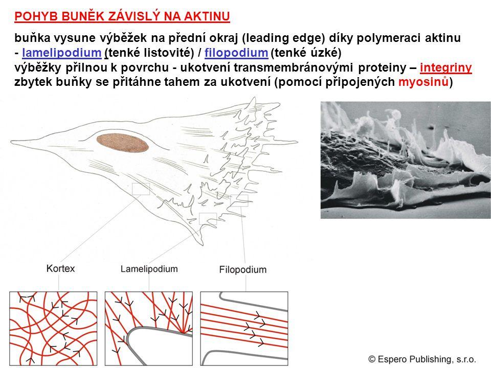 POHYB BUNĚK ZÁVISLÝ NA AKTINU buňka vysune výběžek na přední okraj (leading edge) díky polymeraci aktinu - lamelipodium (tenké listovité) / filopodium