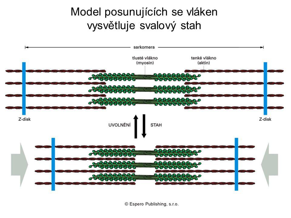 Model posunujících se vláken vysvětluje svalový stah