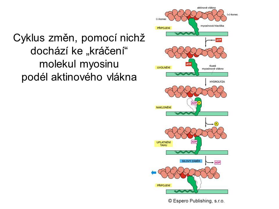 """Cyklus změn, pomocí nichž dochází ke """"kráčení"""" molekul myosinu podél aktinového vlákna"""
