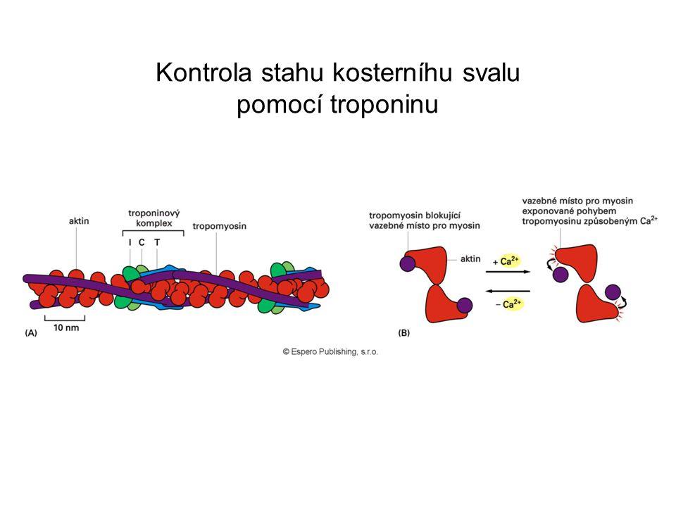 Kontrola stahu kosterníhu svalu pomocí troponinu