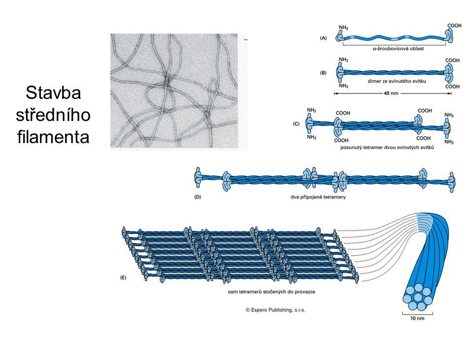 Stavba středního filamenta