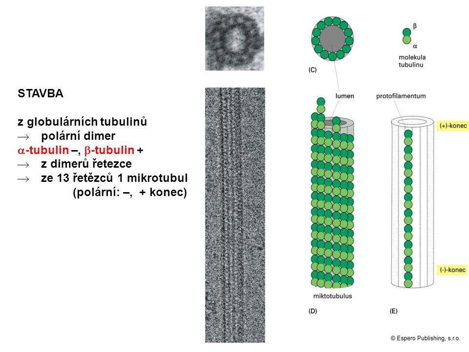 STAVBA z globulárních tubulinů  polární dimer  -tubulin –,  -tubulin +  z dimerů řetezce  ze 13 řetězců 1 mikrotubul (polární: –, + konec)