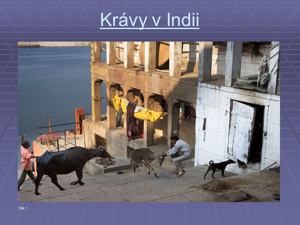 Krávy v Indii Obr. 1