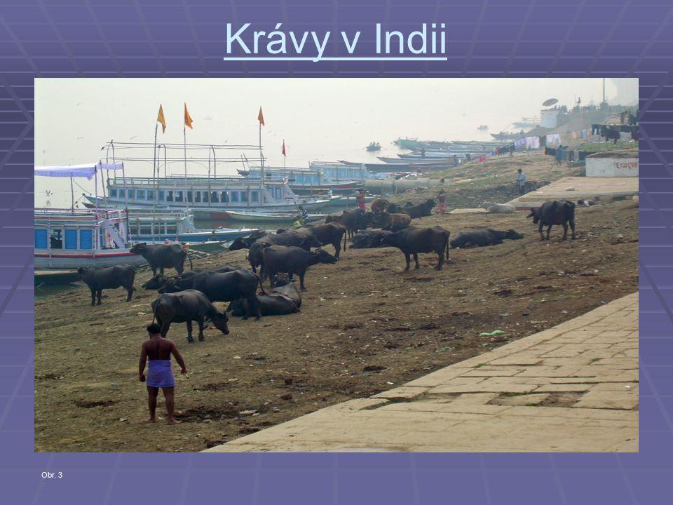Krávy v Indii   Můžou být velkou pohromou, například při pastvě v zemědělských lokalitách.