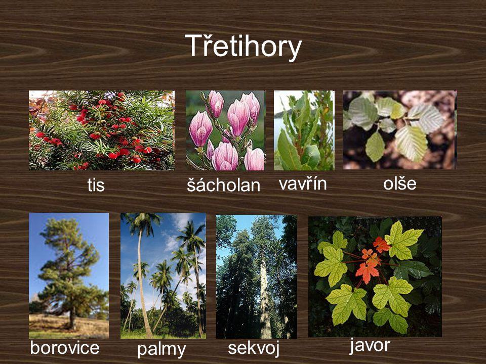 Třetihory tisšácholan vavřínolše borovice palmy sekvoj javor