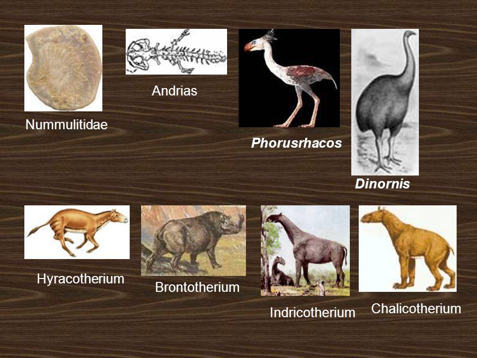 Indricotherium Chalicotherium Hyracotherium Nummulitidae Andrias Phorusrhacos Dinornis Brontotherium