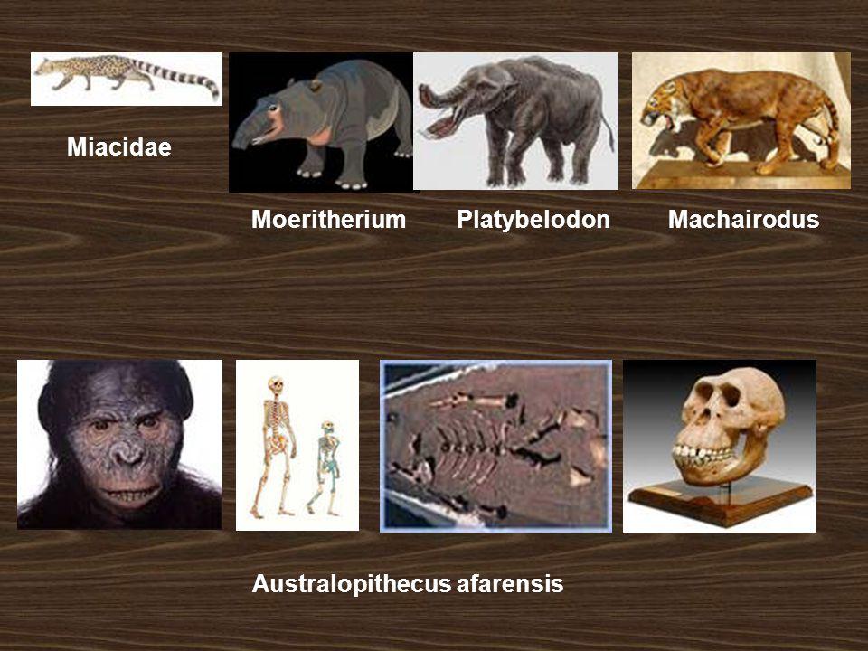 MoeritheriumPlatybelodonMachairodus Miacidae Australopithecus afarensis