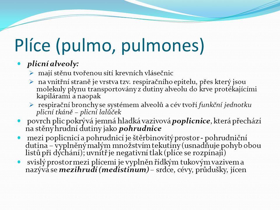 Plíce (pulmo, pulmones) plicní alveoly:  mají stěnu tvořenou sítí krevních vlásečnic  na vnitřní straně je vrstva tzv. respiračního epitelu, přes kt