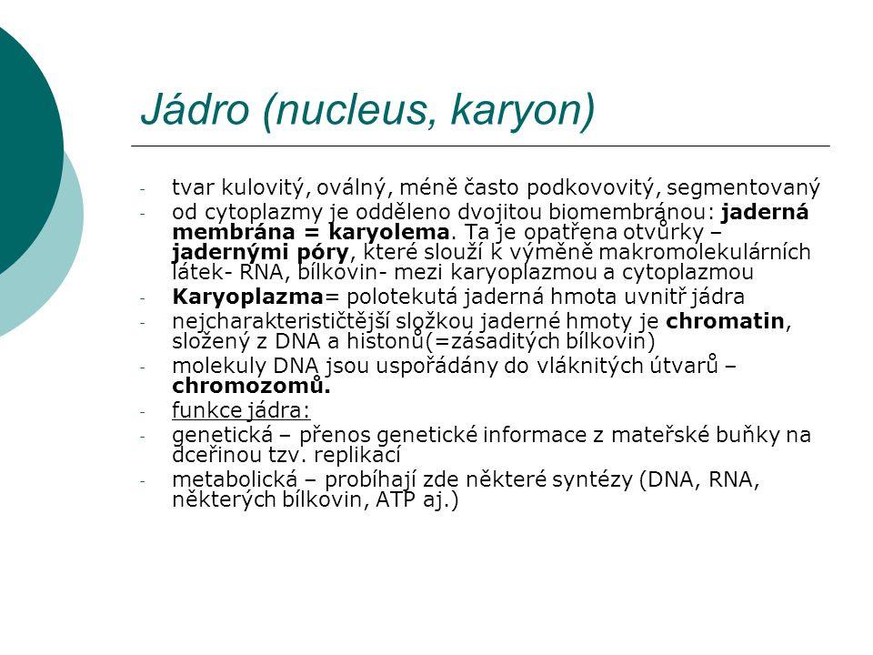 - tvar kulovitý, oválný, méně často podkovovitý, segmentovaný - od cytoplazmy je odděleno dvojitou biomembránou: jaderná membrána = karyolema. Ta je o