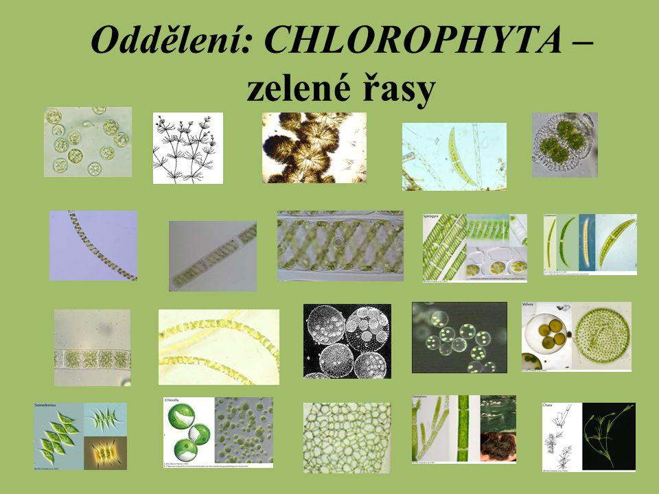 CHLOROPHYTA – zelené řasy Barviva: chlorofyl a, b ß – karoten xantofyly Stavba: stélka jedno i mnohobuněčná, časté kolonie (zrněnka) či cenobia (váleč) buněčná stěna je celulózní a vícevrstevná výskyt: sladká voda i moře (jen 10%) některé i na souši (na borce stromů, skály) jsou počátkem vývojové větve vyšších rostlin