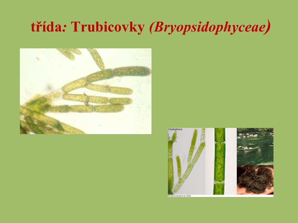 třída: Trubicovky (Bryopsidophyceae )