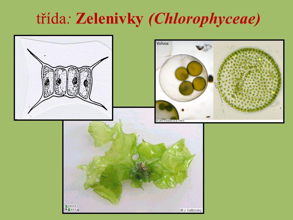 žabí vlas (Cladophora)