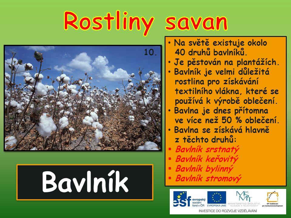 Bavlník 10. Na světě existuje okolo 40 druhů bavlníků. Je pěstován na plantážích. Bavlník je velmi důležitá rostlina pro získávání textilního vlákna,