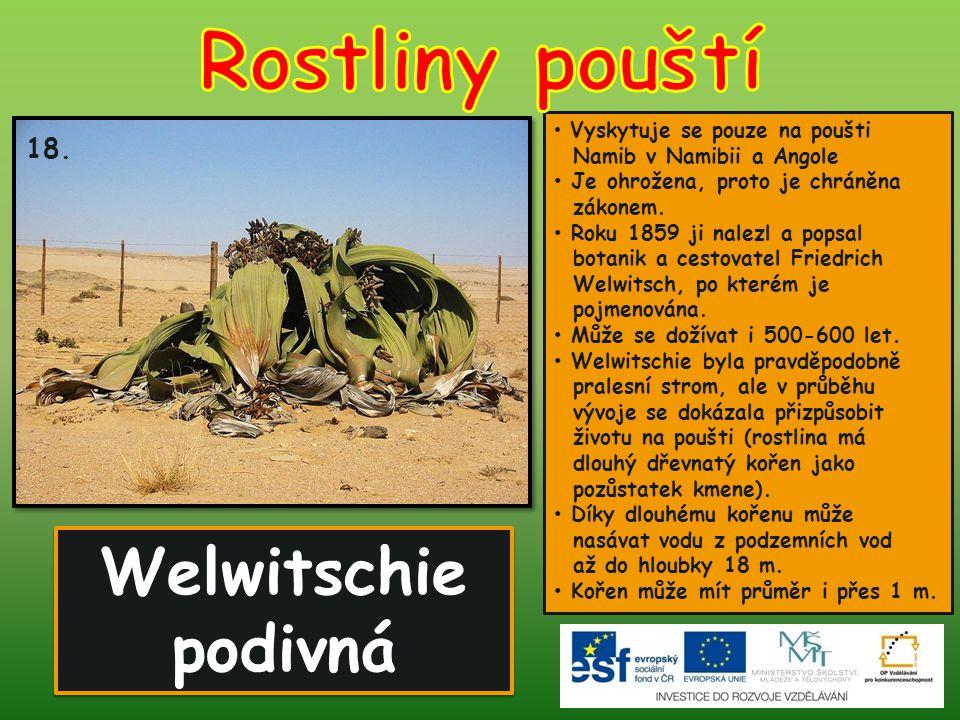 Welwitschie podivná Vyskytuje se pouze na poušti Namib v Namibii a Angole Je ohrožena, proto je chráněna zákonem. Roku 1859 ji nalezl a popsal botanik