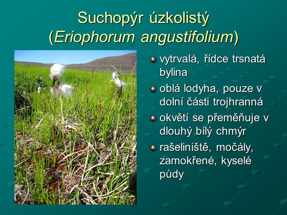 Suchopýr úzkolistý (Eriophorum angustifolium) vytrvalá, řídce trsnatá bylina oblá lodyha, pouze v dolní části trojhranná okvětí se přeměňuje v dlouhý