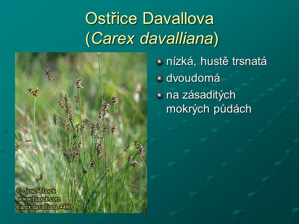 Ostřice Davallova (Carex davalliana) nízká, hustě trsnatá dvoudomá na zásaditých mokrých půdách
