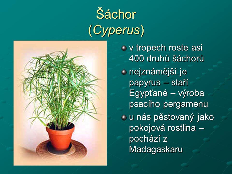 Šáchor (Cyperus) v tropech roste asi 400 druhů šáchorů nejznámější je papyrus – staří Egypťané – výroba psacího pergamenu u nás pěstovaný jako pokojov