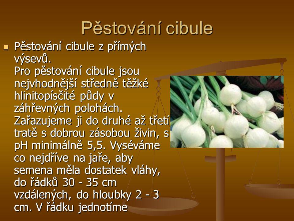 Pěstování cibule Pěstování cibule z přímých výsevů.