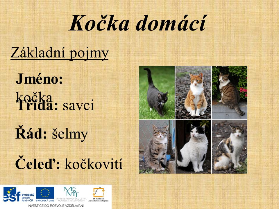 Kočka domácí Základní pojmy Jméno: kočka Třída: savci Řád: šelmy Čeleď: kočkovití
