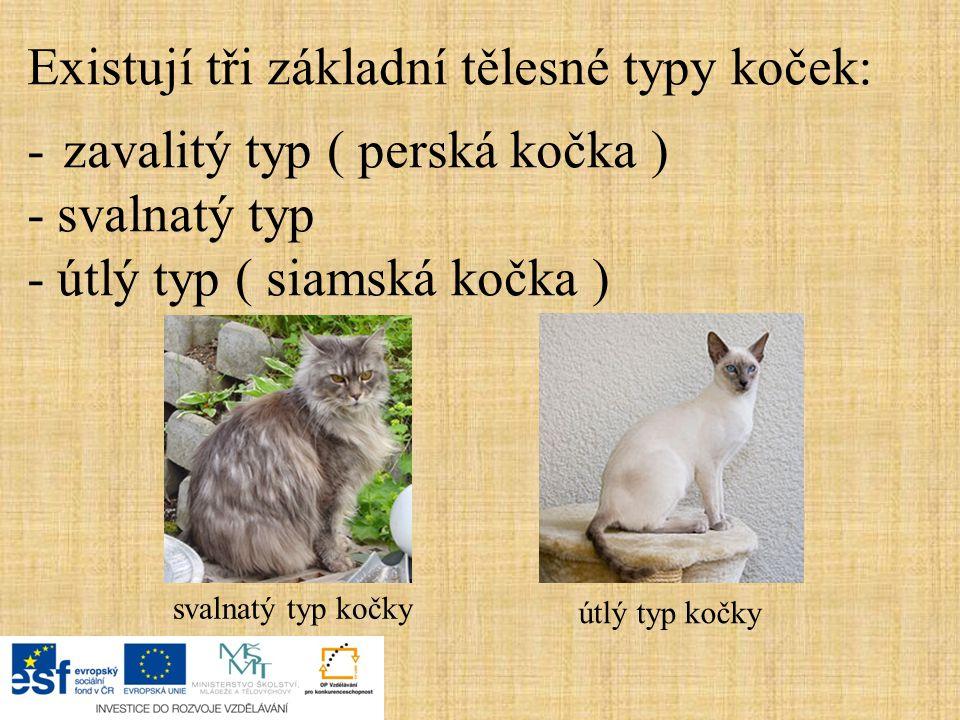 Existují tři základní tělesné typy koček: -zavalitý typ ( perská kočka ) -svalnatý typ -útlý typ ( siamská kočka ) svalnatý typ kočky útlý typ kočky