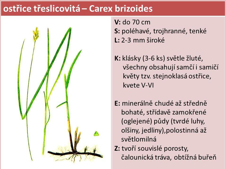ostřice třeslicovitá – Carex brizoides V: do 70 cm S: poléhavé, trojhranné, tenké L: 2-3 mm široké K: klásky (3-6 ks) světle žluté, všechny obsahují samčí i samičí květy tzv.