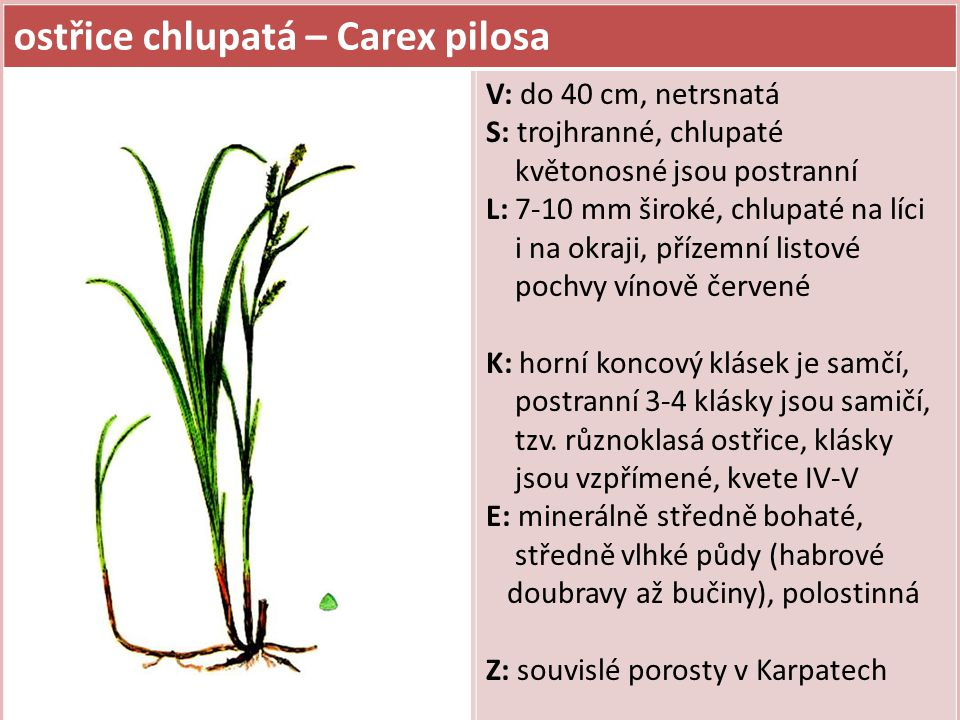 ostřice chlupatá – Carex pilosa V: do 40 cm, netrsnatá S: trojhranné, chlupaté květonosné jsou postranní L: 7-10 mm široké, chlupaté na líci i na okraji, přízemní listové pochvy vínově červené K: horní koncový klásek je samčí, postranní 3-4 klásky jsou samičí, tzv.