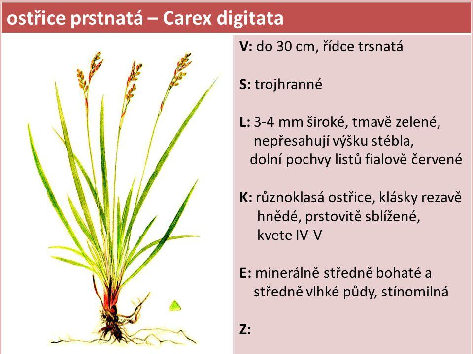 ostřice prstnatá – Carex digitata V: do 30 cm, řídce trsnatá S: trojhranné L: 3-4 mm široké, tmavě zelené, nepřesahují výšku stébla, dolní pochvy listů fialově červené K: různoklasá ostřice, klásky rezavě hnědé, prstovitě sblížené, kvete IV-V E: minerálně středně bohaté a středně vlhké půdy, stínomilná Z: