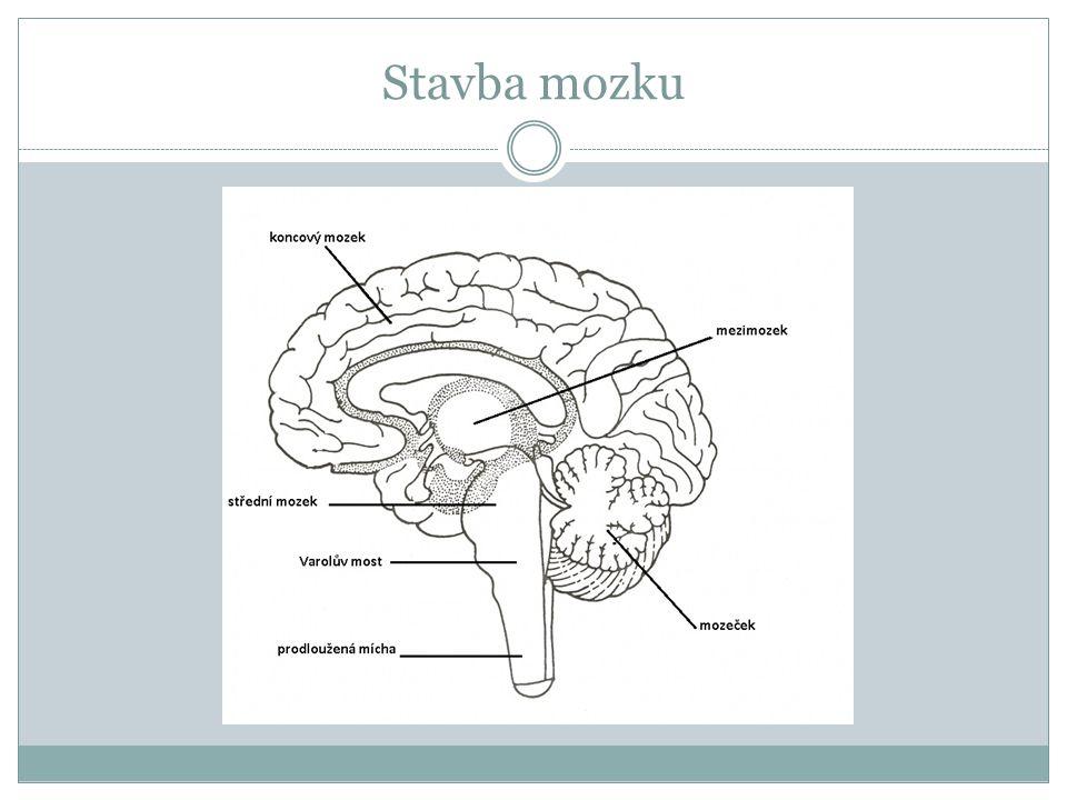 Prodloužená mícha plynule navazuje na páteřní míchu, vystupují z ní 4 páry nervů řídí životně důležité funkce (dýchání, srdeční frekvence, funkce trávicí soustavy) a různé obranné reflexy (kýchání, kašlání, zvracení) dochází zde k první selekci podnětů přicházejících do mozku