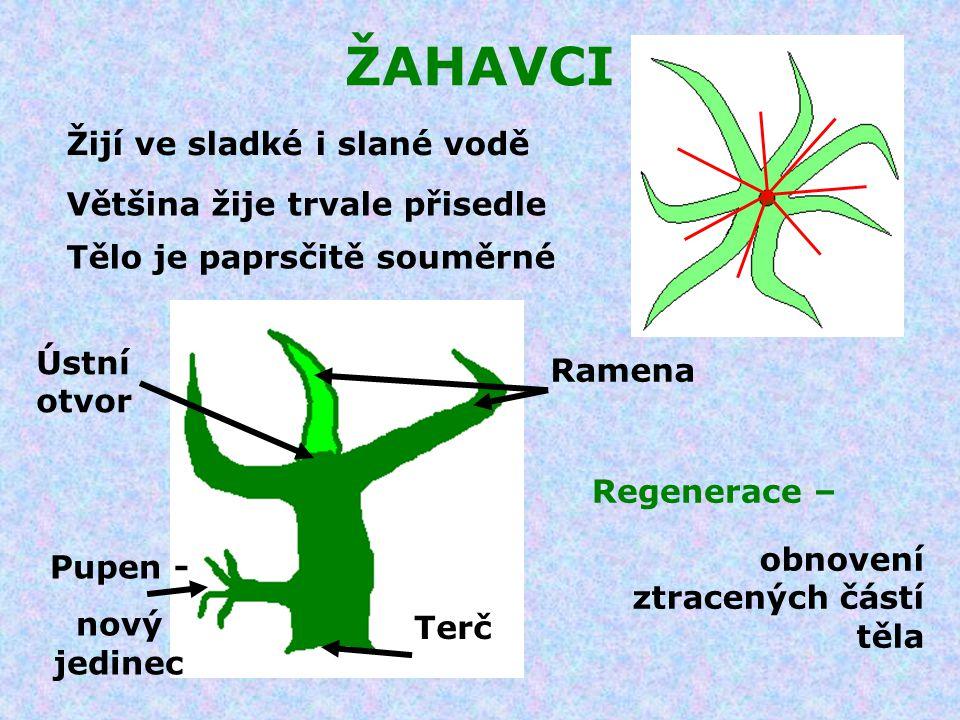 ŽAHAVCI Povrch těla tvoří vrstva buněk Na povrchu jsou rozmístěny žahavé buňky Řez pokožkou Žahavá buňka při podráždění vystřelí vlákno s jedovými látkami Podrážděná buňka Buňka v klidu Buňky pokožky přijímají kyslík