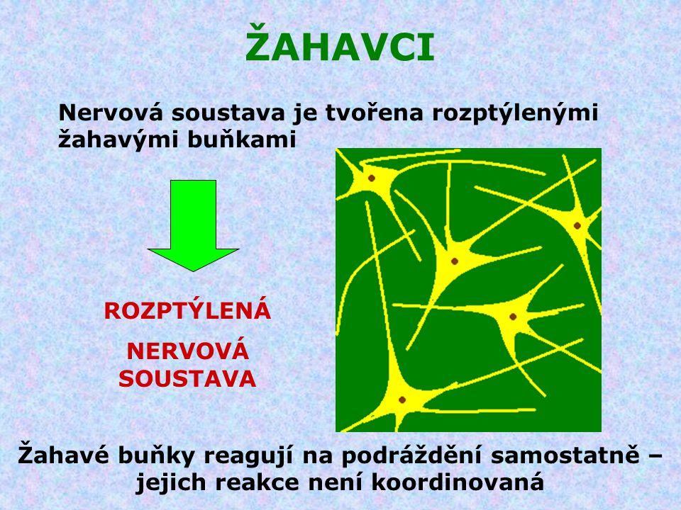 Nervová soustava je tvořena rozptýlenými žahavými buňkami ROZPTÝLENÁ NERVOVÁ SOUSTAVA Žahavé buňky reagují na podráždění samostatně – jejich reakce ne