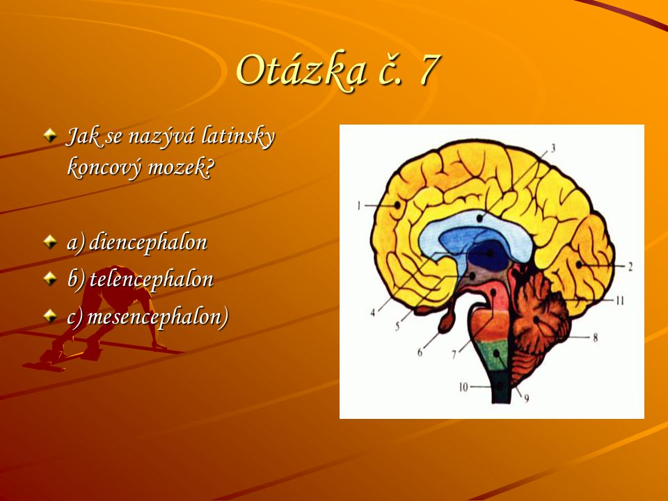 Otázka č. 7 Jak se nazývá latinsky koncový mozek? a) diencephalon b) telencephalon c) mesencephalon)
