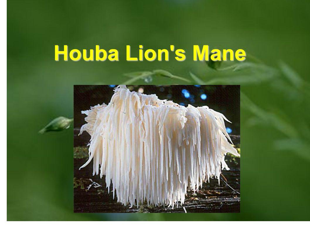 """Tvar Je známá jako Houba Lion s Mane, protože připomíná tvar """"Lví Hřívy"""